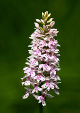 Common Spotted Orchid Orchis fuchsii