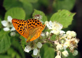 Male Silver-washed Fritillary Argynnis paphia