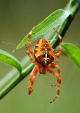 Garden Spider Araneus diadematus