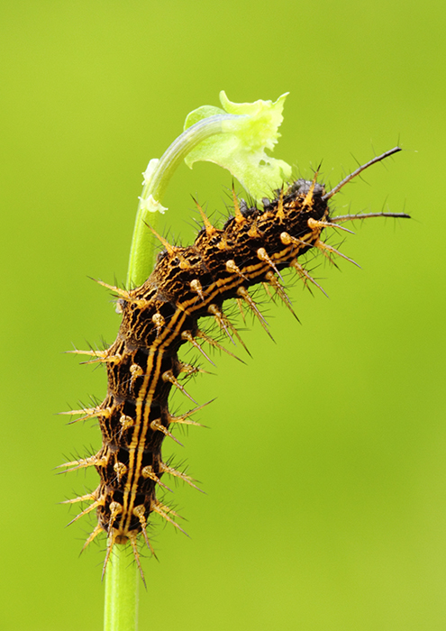 Caterpillar of Silver-washed Fritillary <em>Argynnis paphia<>/em feeding on Dog Violet