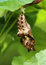 Pupa of Silver-washed Fritillary Argynnis paphia