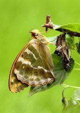 Silver-washed Fritillary Argynnis paphia