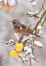 Fieldfare Turdus pilaris in the snow