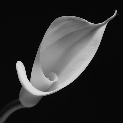 Easter Lily No1
