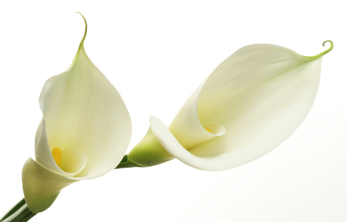Easter Lily No6
