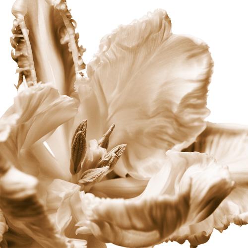 Petticoat Tulip No2
