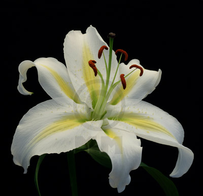 Lily 1