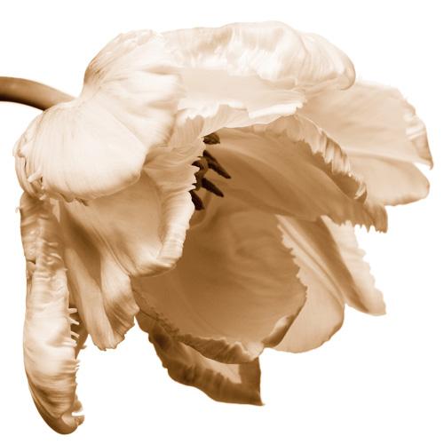 Petticoat Tulip No1