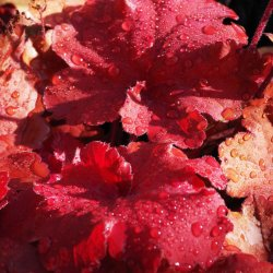 Heuchera by Sharon Thomas