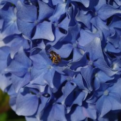 Bee on a Hydrangea