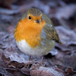 Birds Fat Robin by Iain McCallum