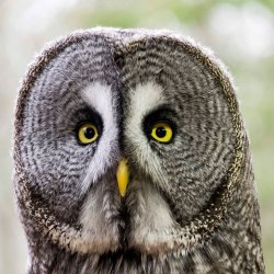 Birds Great Grey Owl by Iain McCallum