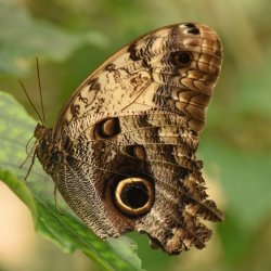Brown Butterfly by James Mason