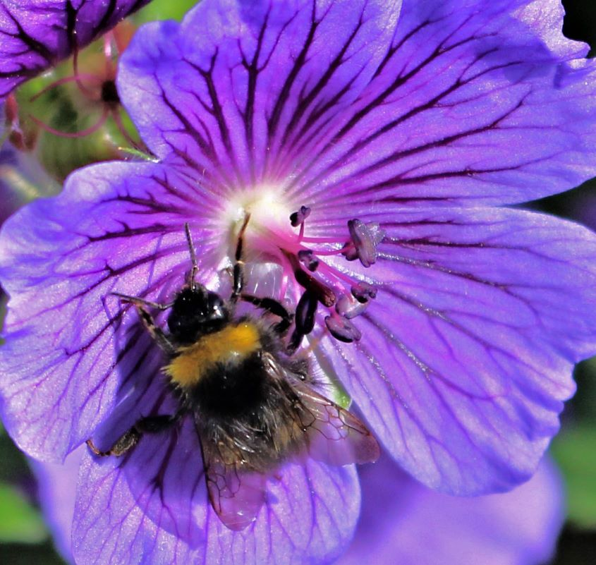Bumblebee by Jackie Poulter