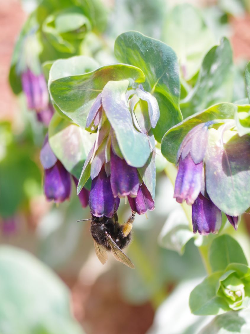 Cerinthe Major Bee Sharon Thomas
