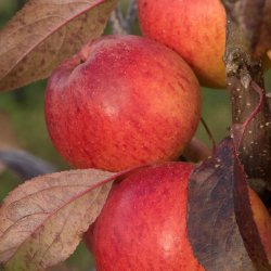 Cox harvest by James Mason