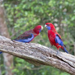 Crimson Rosella by Tony cutting