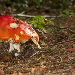 Fly Agaric in Decline