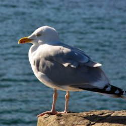 Herring Gull by James Mason