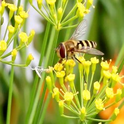 HoverFly by Tony Cutting