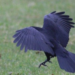 Landing Crow by Jackie Poulter