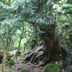 Old Yew by Jackie Poulter