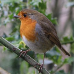 Robin at Devil 's Pulpit by Jackie Poulter