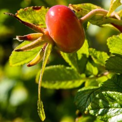 Rose Hips by Alison Stace