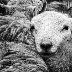 Sheep by Lynda Sharples