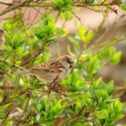 Sparrow couple by James Mason