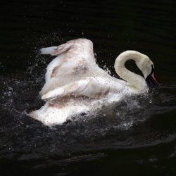 Swan by Sharon Thomas