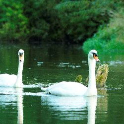 Swans by James Mason