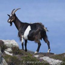 Mountain Goat, Lundy Island, UK