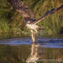 Osprey with Rainbow Trout 1. Aviemore, Highland, Scotland, UK