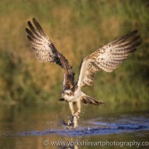 Osprey with Rainbow Trout 2. Aviemore, Highland, Scotland, UK