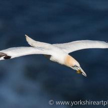 Gannet in flight. Bempton Cliffs, East Yorkshire, UK