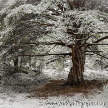 Scots pine in winter. Glenmore forrest. Aviemore, highland, Scotland, UK