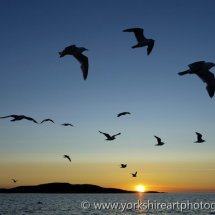 Seagulls at sunset. Flatanger, Norway.
