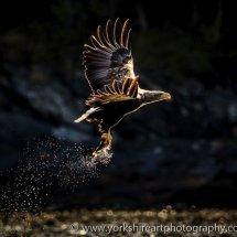 White Tailed Eagle 4 (Fish Eagle), Flatanger, Norway