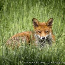 Urban Fox, Leeds, West Yorkshire, UK