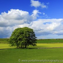 Trees and meadow in summer. Malham, Yorkshire dales, UK