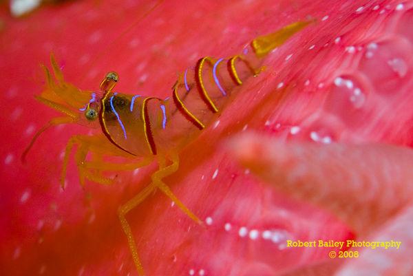 Candy Stripe Shrimp