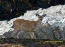Costal Black Tail Deer
