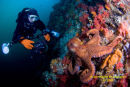 Giant Pacific Octopus on Browning Wall