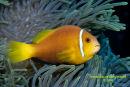 Maldives Anenome Fish
