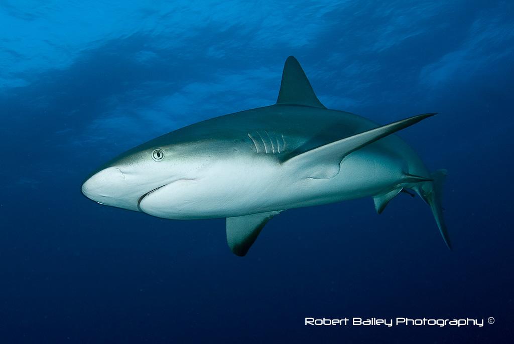 Grey Reef Shark (<em> Carcharchinus amblyrhynchas</em>