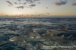Lemon sharks ( Negaprion brevirostris )