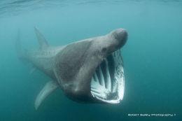 Basking Shark(Cetorhinus maximus)