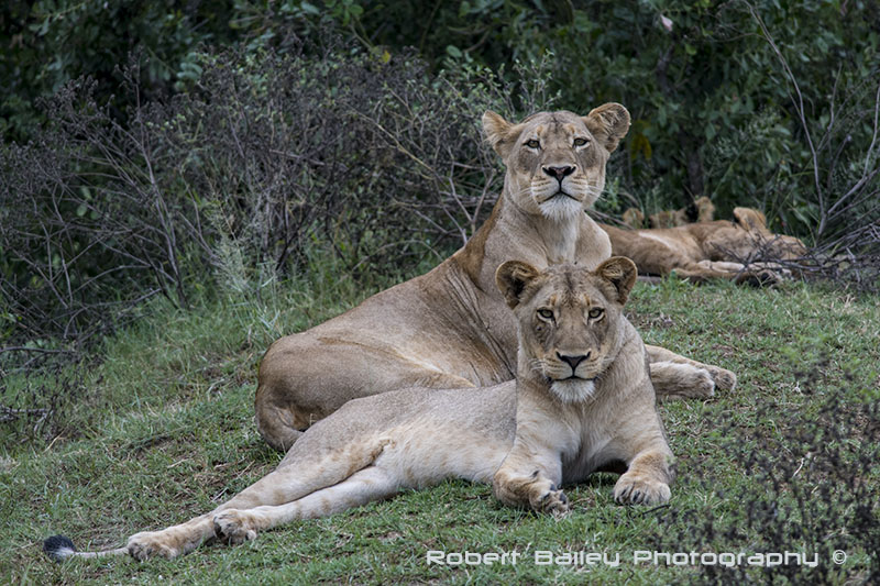 Lioness and Cubs - Kruger National Park, Near Lataba