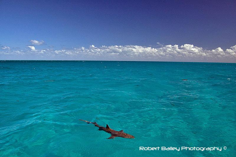 Lone Lemon Shark, Bahamas